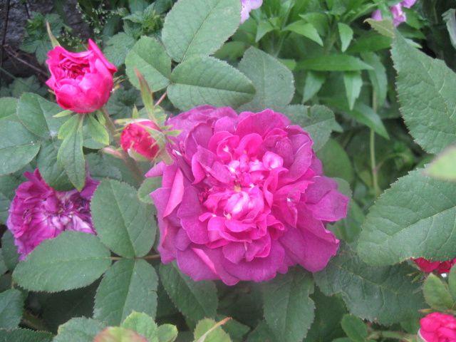 rosier Baron de Gossard