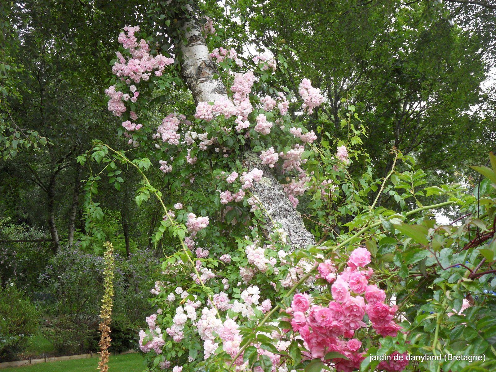 quelques rosiers lianes en situation à la mi- juillet