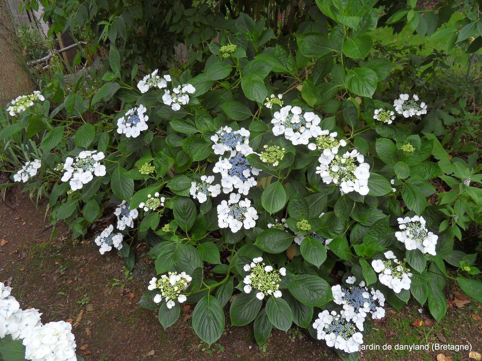 le jardin et ses hortensias en juillet