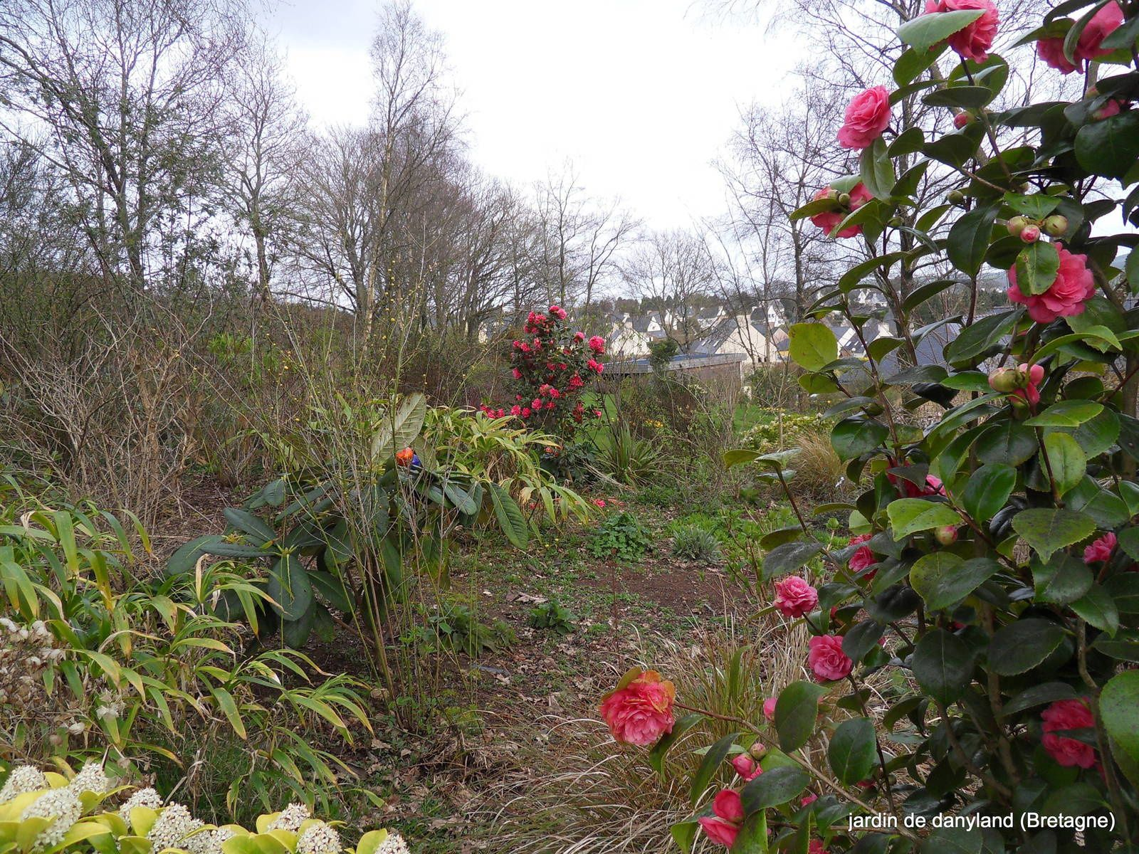 LES CAMELIAS  du jardin