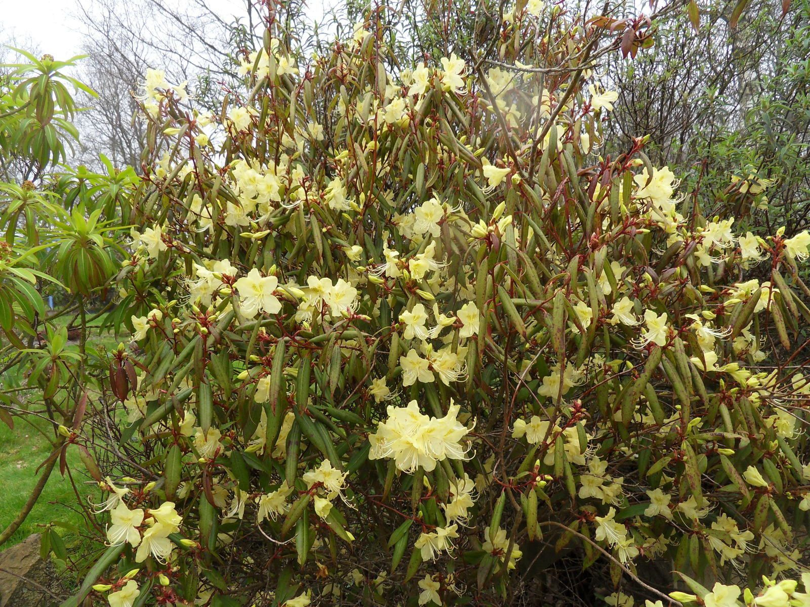 rhodo Lutescens , floraison fin février début mars en Bretagne