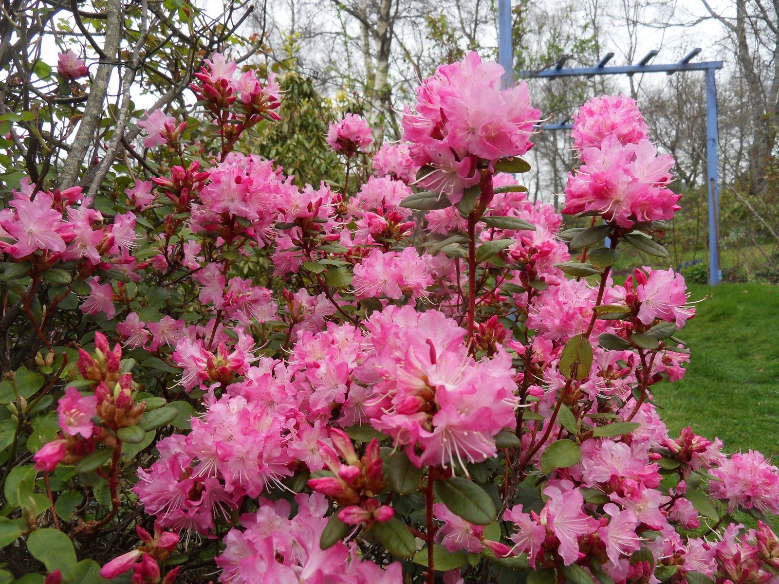 rhodo mucronulatum , superbe floraison !!!!