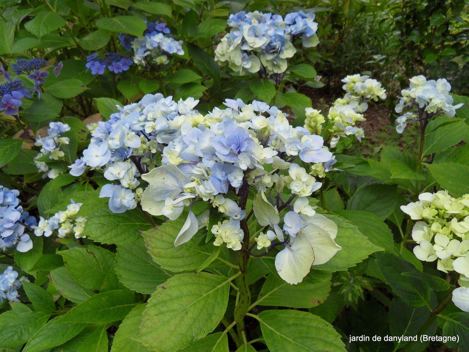 Domotoï est une forme tout à fait exceptionnelle de macrophylla. Fleurs aux nombreux sépales doubles...Vous observerez aussi que les tiges en dessous des inflorescences sont souvent aplaties. C'est une virose qui ne se propage pas sur les autres plantes, car elle est fixée à cette variété