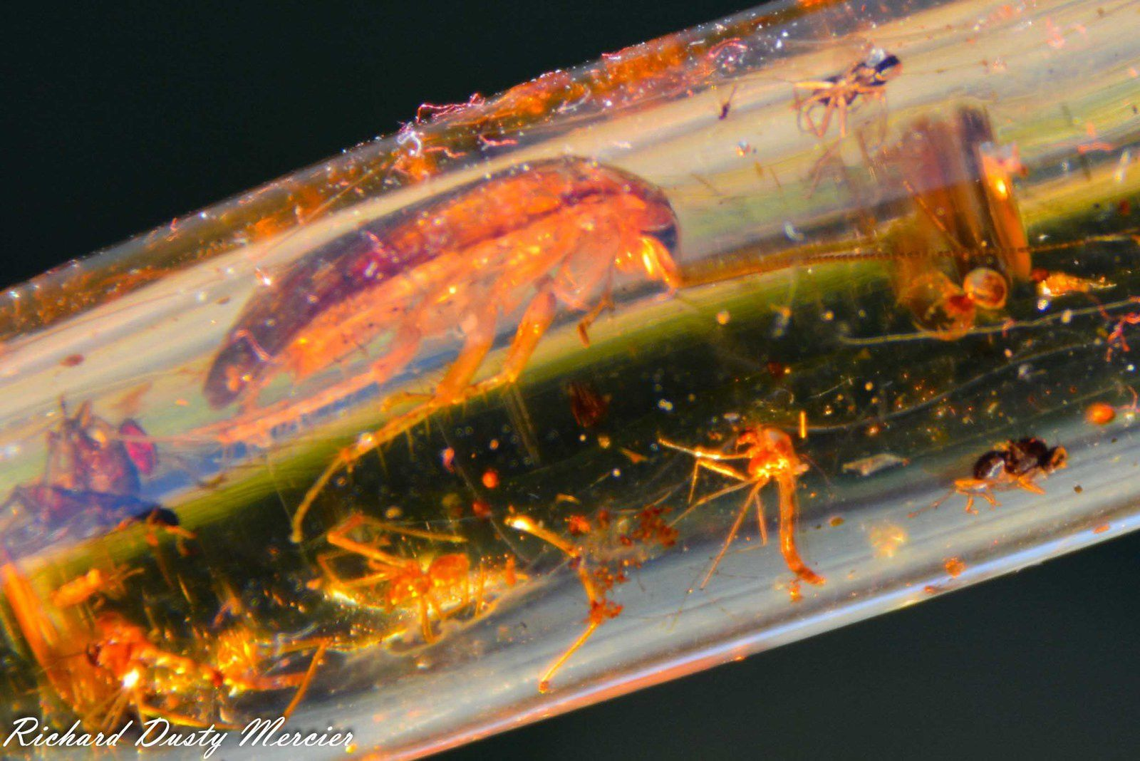 Amber (Ambre) var Copale with Insectes from Madagascar (size: Miniature)