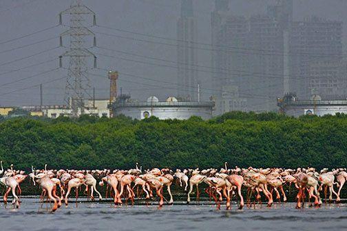Lesser Flamingos Pix: Adesh Shivkar