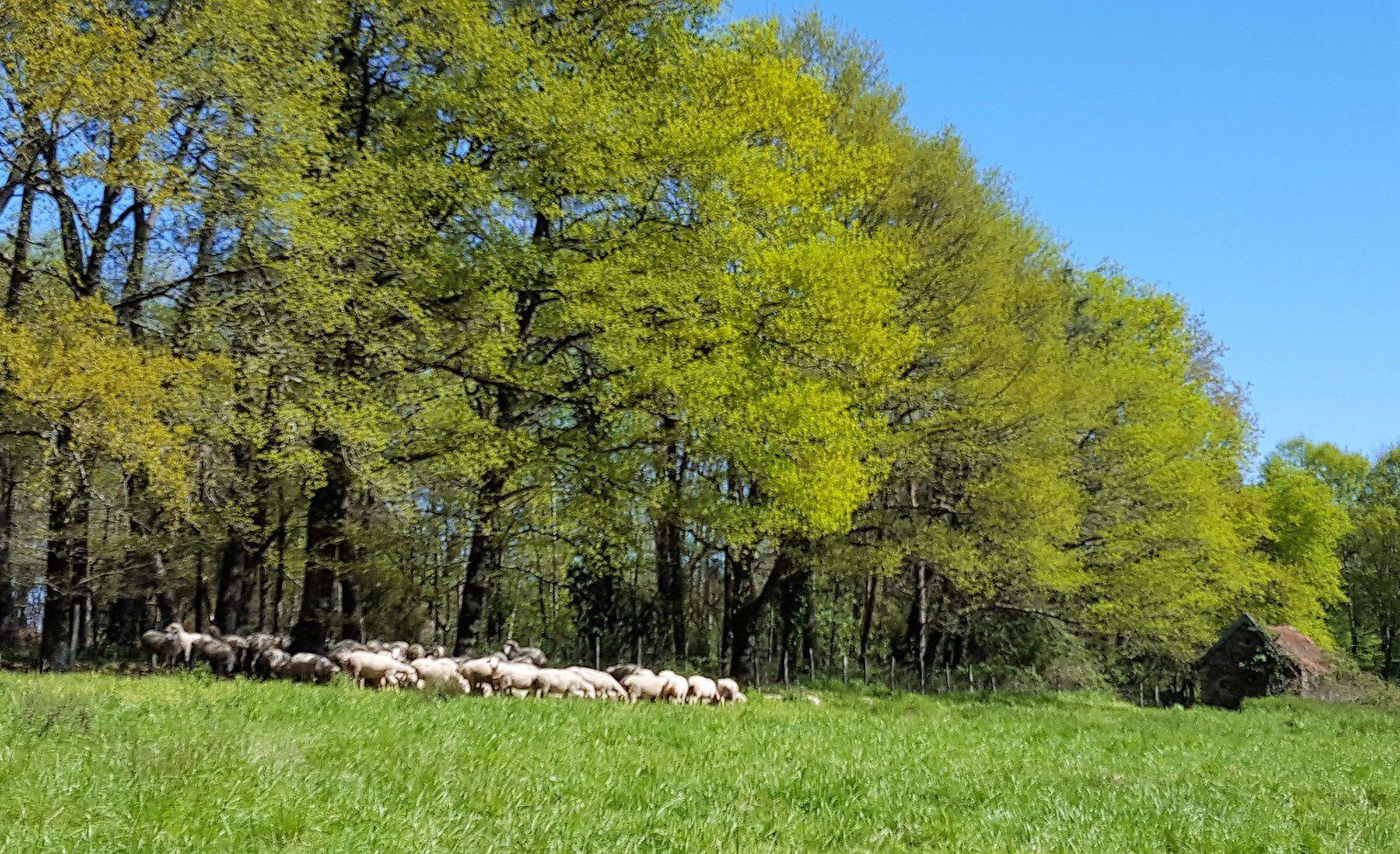 Les moutons commencent à avoir chaud
