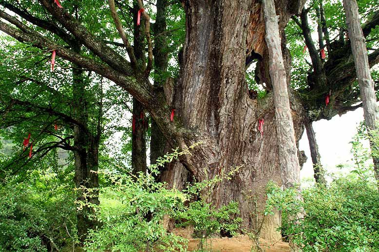 Ginkgo biloba tree (based on tree-ring analysis, the age was about 878 years in 2011) with many sprouts, a feng shui tree with red cloth strips hung by villagers for good luck Maopo, Nanchuan County. Photo: Cindy Q. Tang. Source: http://kwanten.home.xs4all.nl/dalou.htm