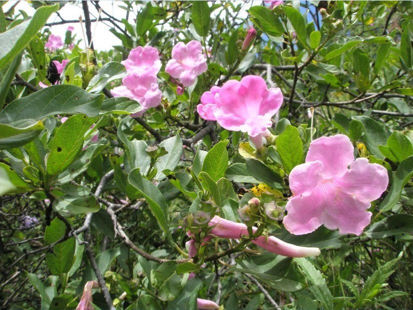 Jeroja (Delostoma roseum), une Bignoniaceae arbustive aux fleurs roses ou parfois blanches des Andes du Pérou, qui fleurit pendant la saison des pluies (janvier-mars). Photo: Pierre-Olivier Combelles, Pitunilla (Ayacucho, Pérou), vers 3000 m d'altitude.