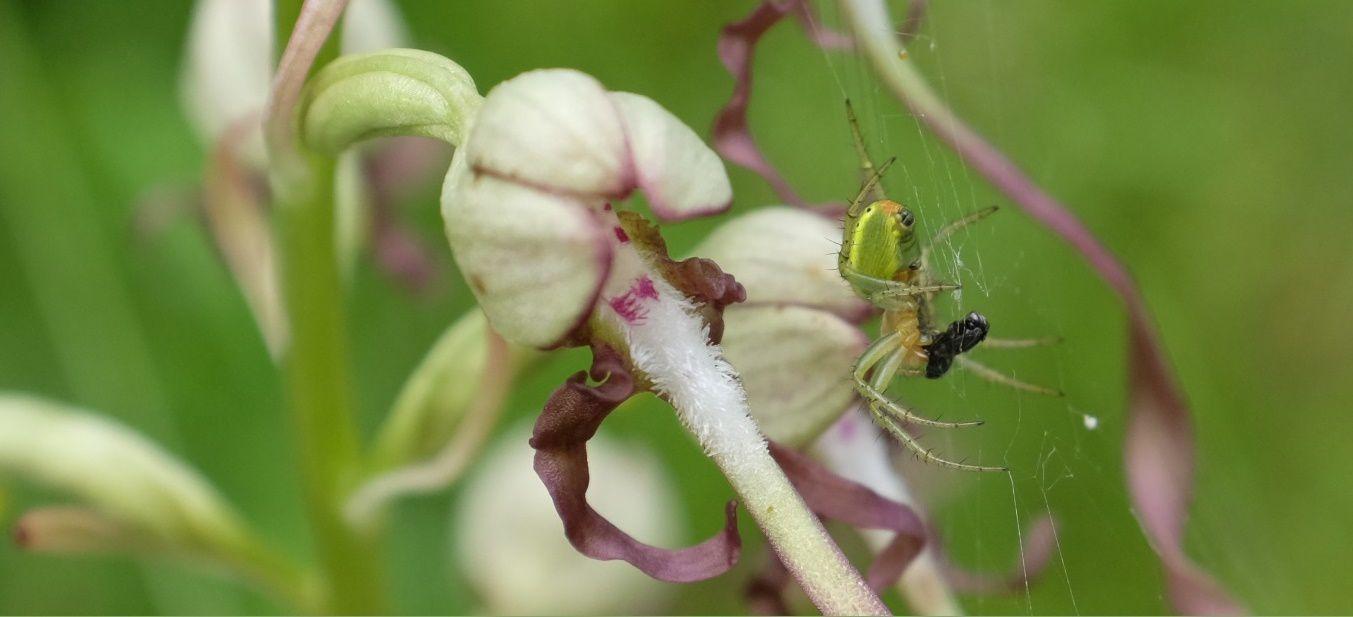 Une petite araignée (Araniella cucurbitina ?) enveloppe sa proie sur un Orchis bouc (Himantoglossum hircinum). Photo: Pierre-Olivier Combelles (Forêt de Rambouillet, juin 2016)