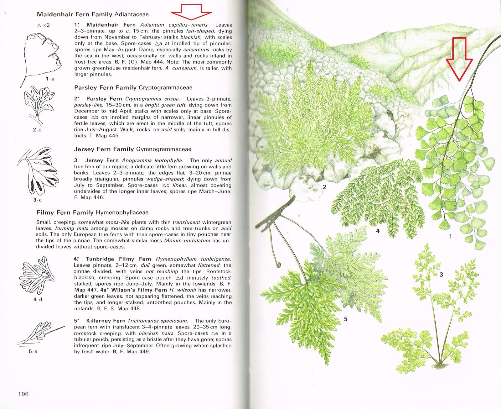 Une proche espèce moderne de notre Fougère fossile: Adiantum capillus-veneris, une Adiantaceae d'Europe du nord. In: Collins Guide of Grasses, Sedges, Rushes and Ferns of Britain and Northern Europe. Text by Richard Fitter ad Alastair Fitter. Illustrated by Ann Farrer. Collins, London, 1984.