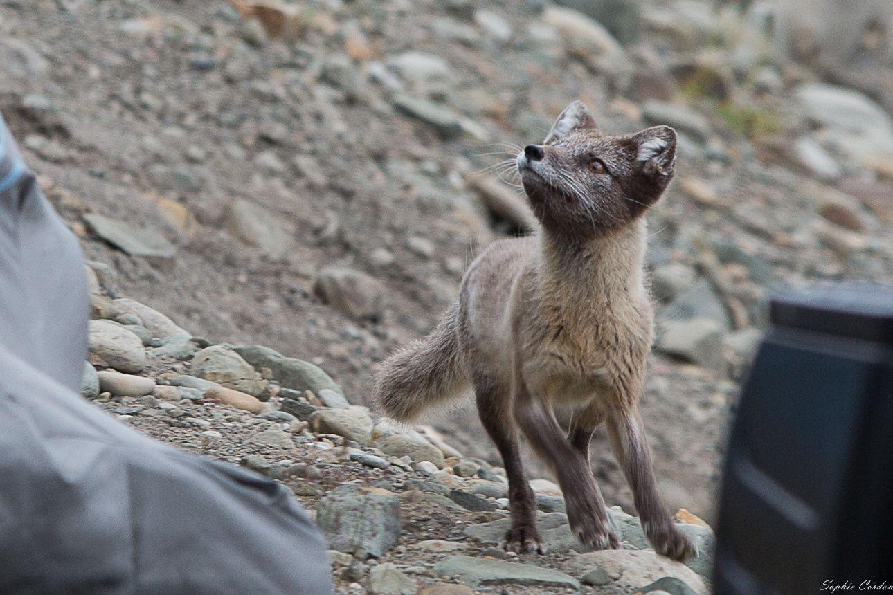 ce qui n'a pas échappé à maître renard, même si le goéland ne tenait pas en son bec un fromage