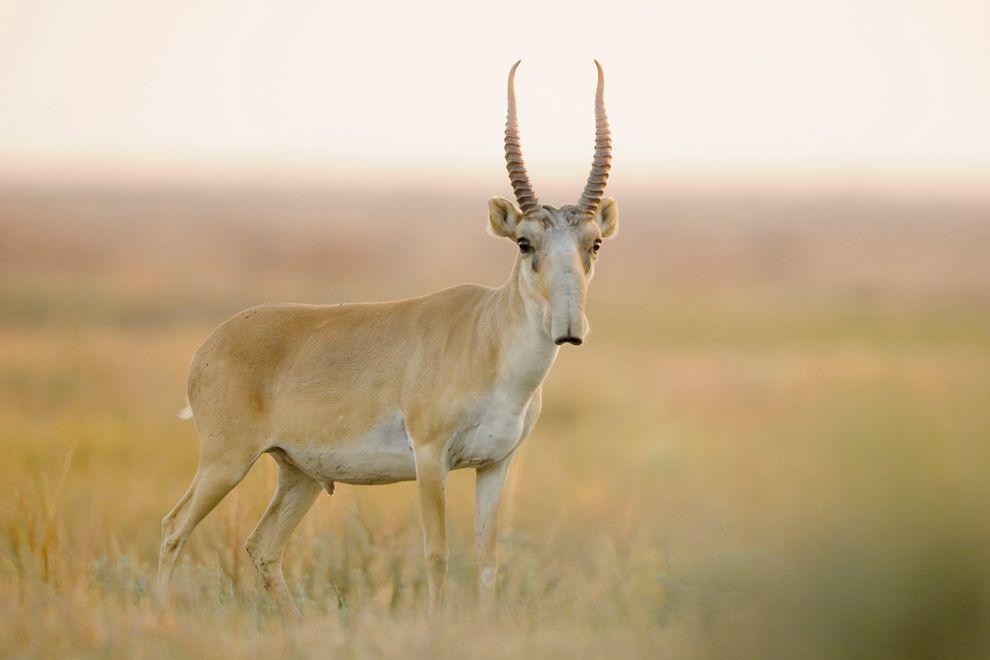 [Kazakhstan] Mort mystérieuse de 120 000 antilopes saïgas