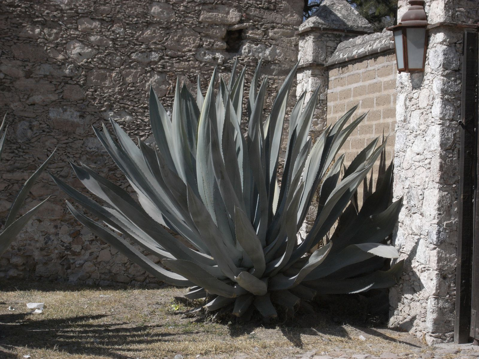 agave - photo Anne-Marie MICHEL Atotonilco – San Miguel Allende  - Mexique