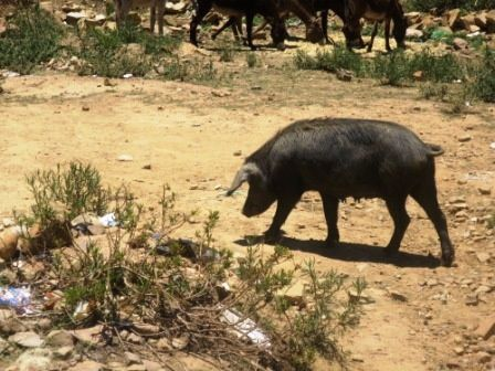 Le parking des ânes, sous le regard indifférent d'un cochon noir qui passe.