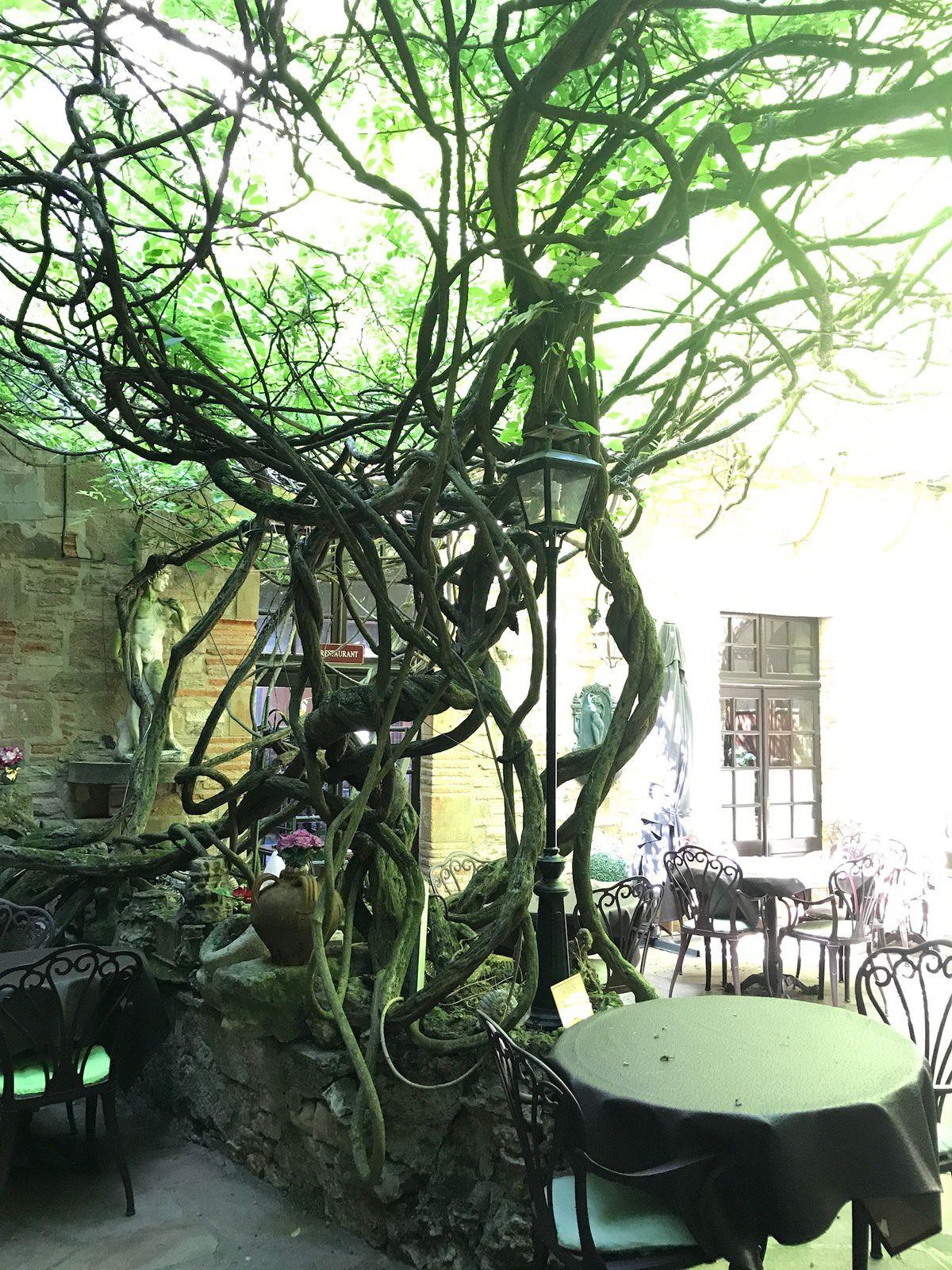 L'Hostellerie du vieux Cordes et sa glycine tricentenaire qui trône sur la terrasse du restaurant.