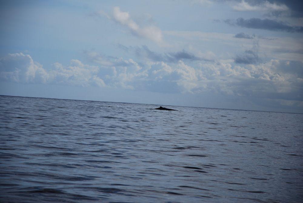 Premières &quot&#x3B;vraies&quot&#x3B; baleines de 2014 !!!