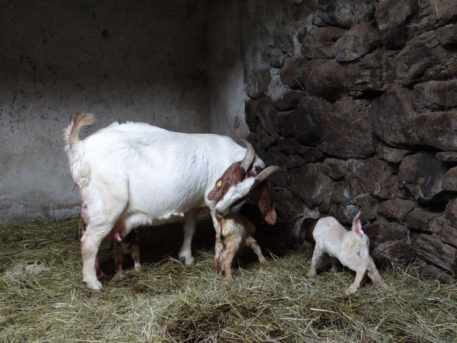 Une naissance de triplés Boers