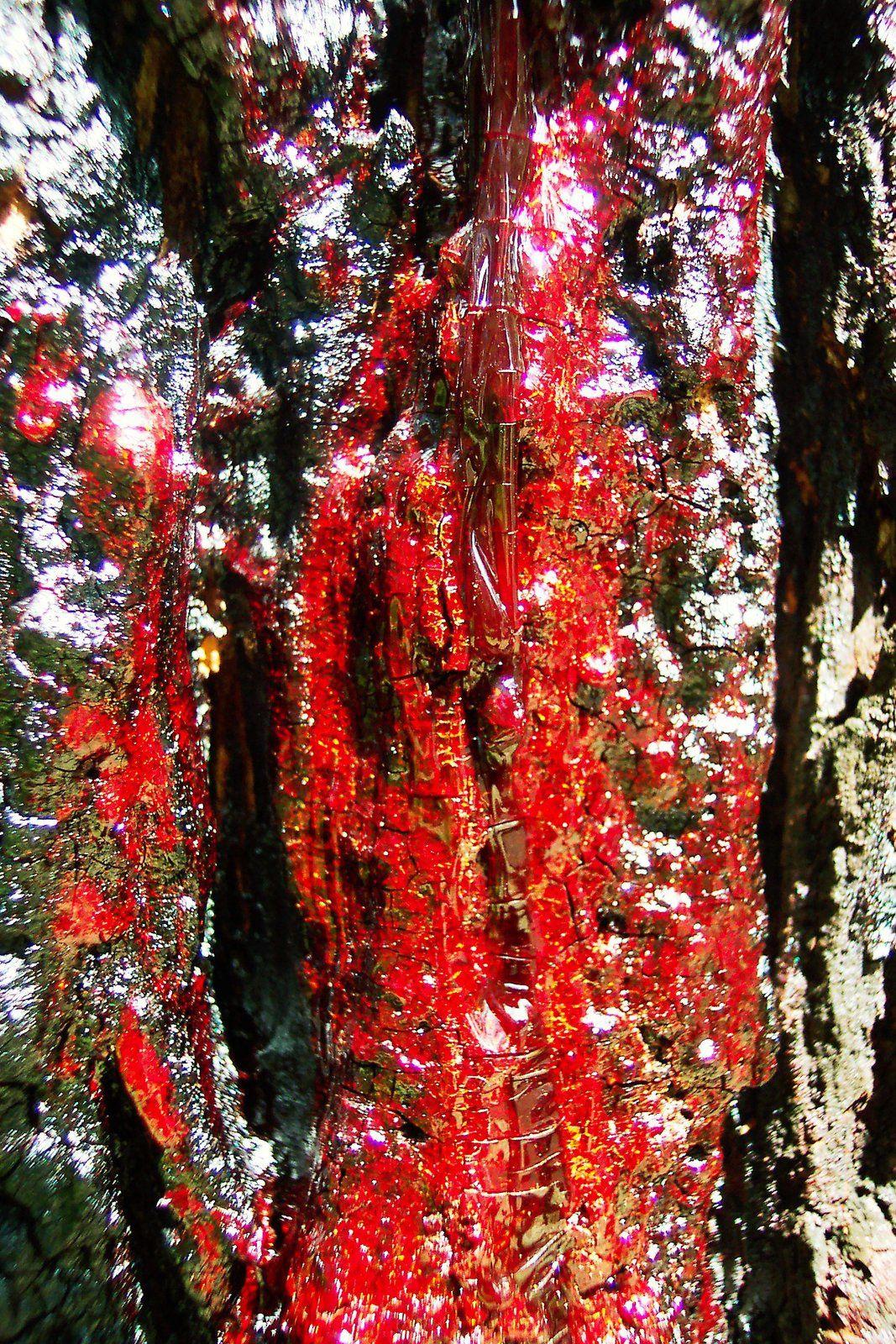 seve rouge arbre australie