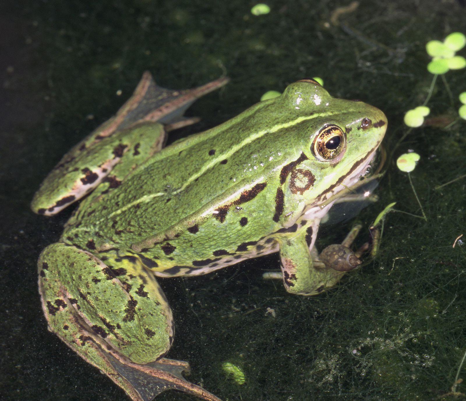 Suivez les amphibiens près de chez vous !