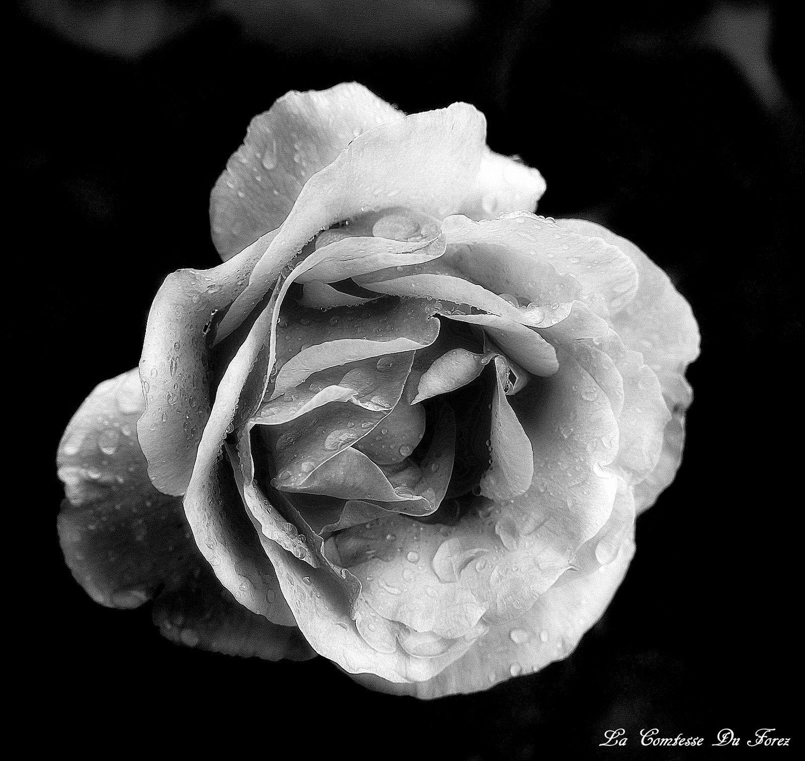 Au Jardin Rose du soir (42600 Savigneux)