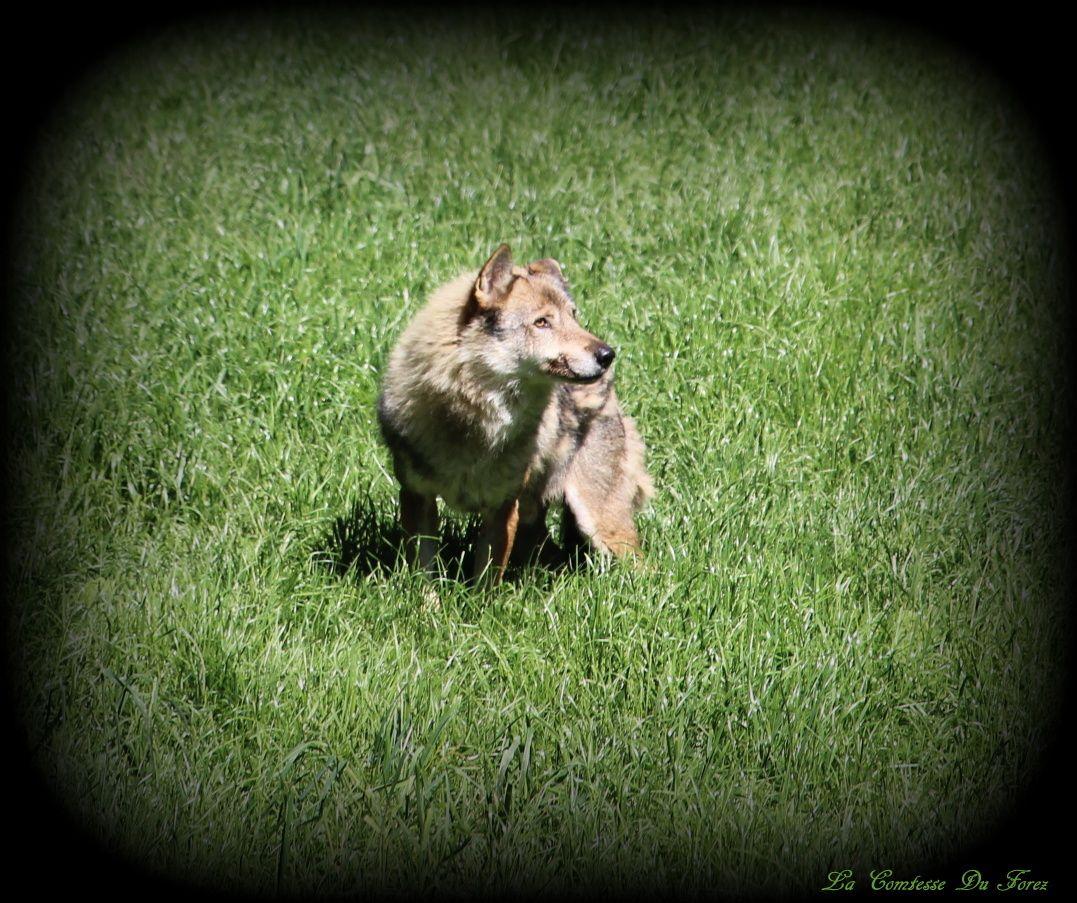 Courzieu : Les Loups gris du parc animalier (69690 Courzieu)