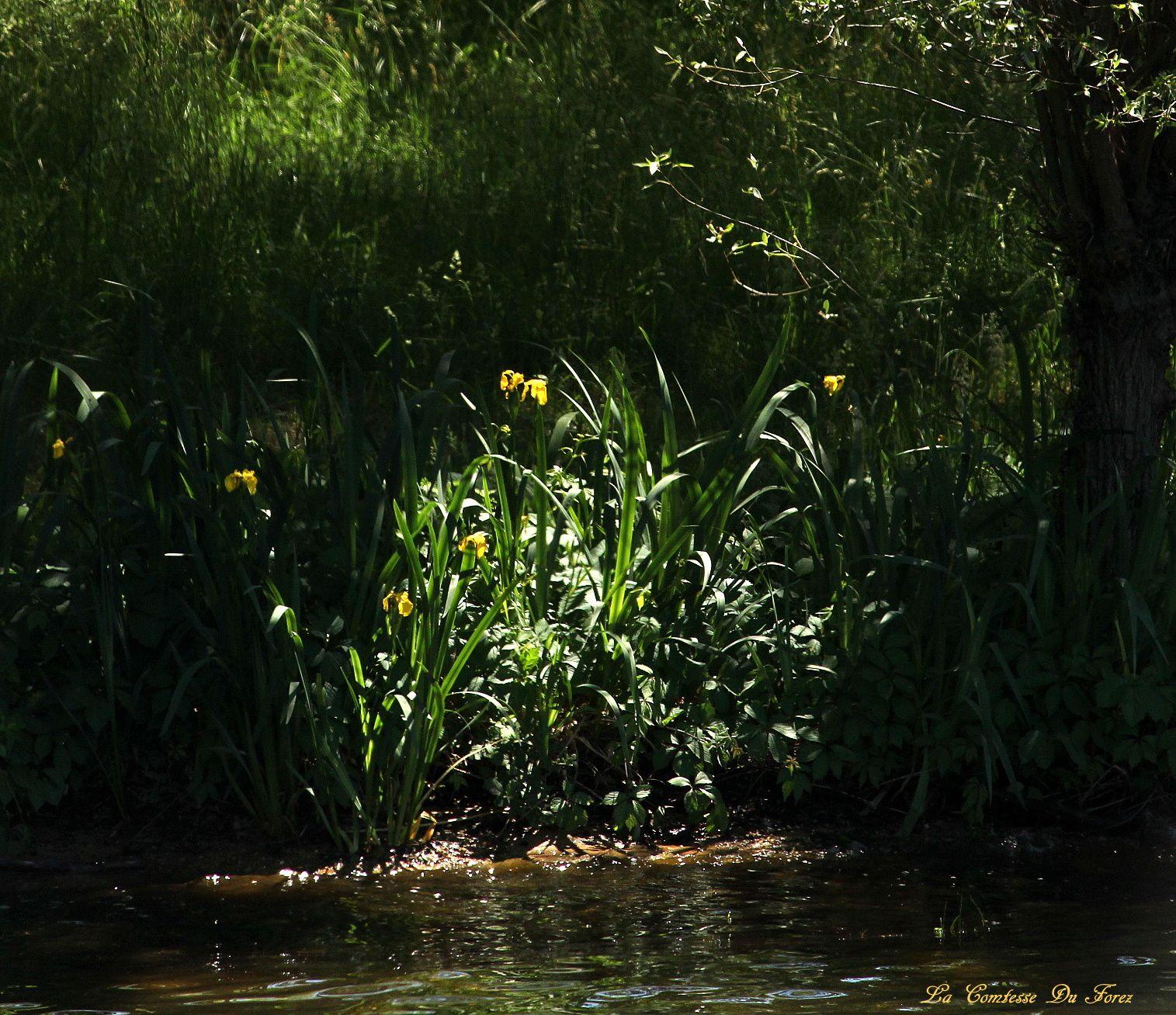 des fleurs jaunes poussent au bord de l'eau