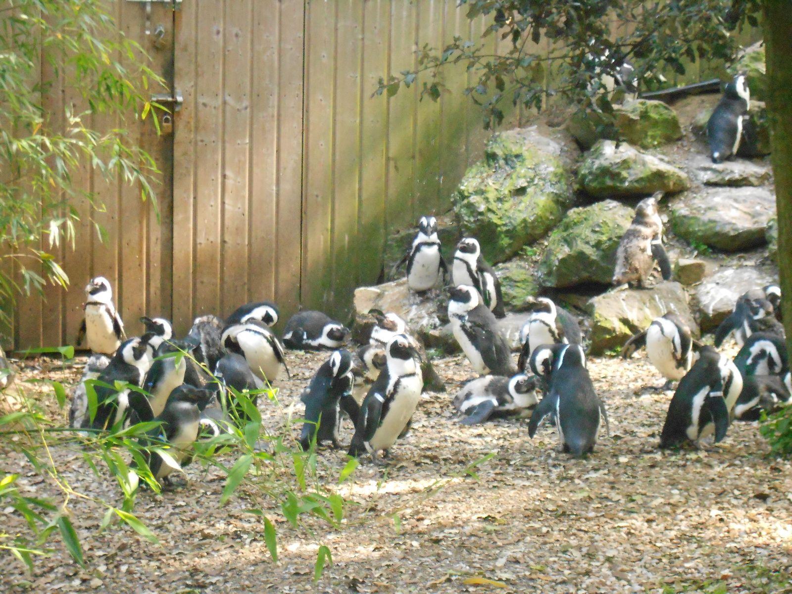 zoo manchot