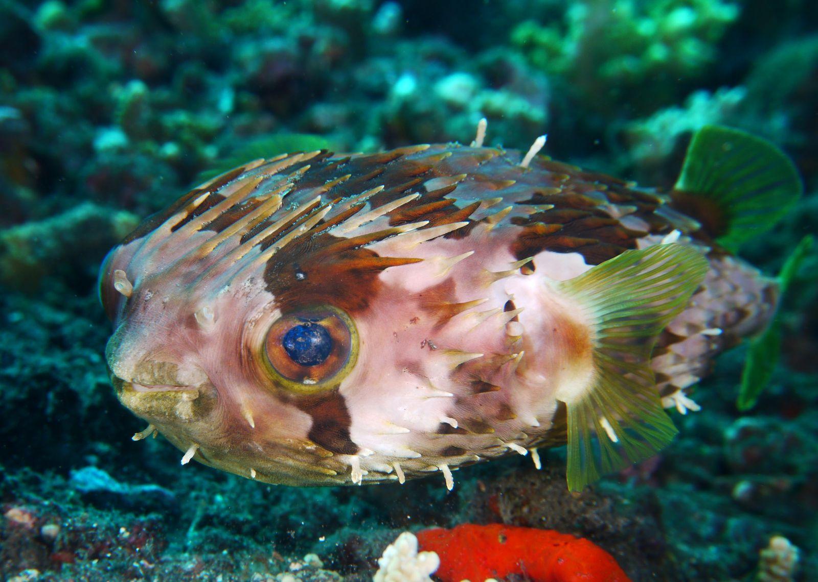 La seiche a passé beaucoup de temps à surveiller ses oeufs dans le corail.