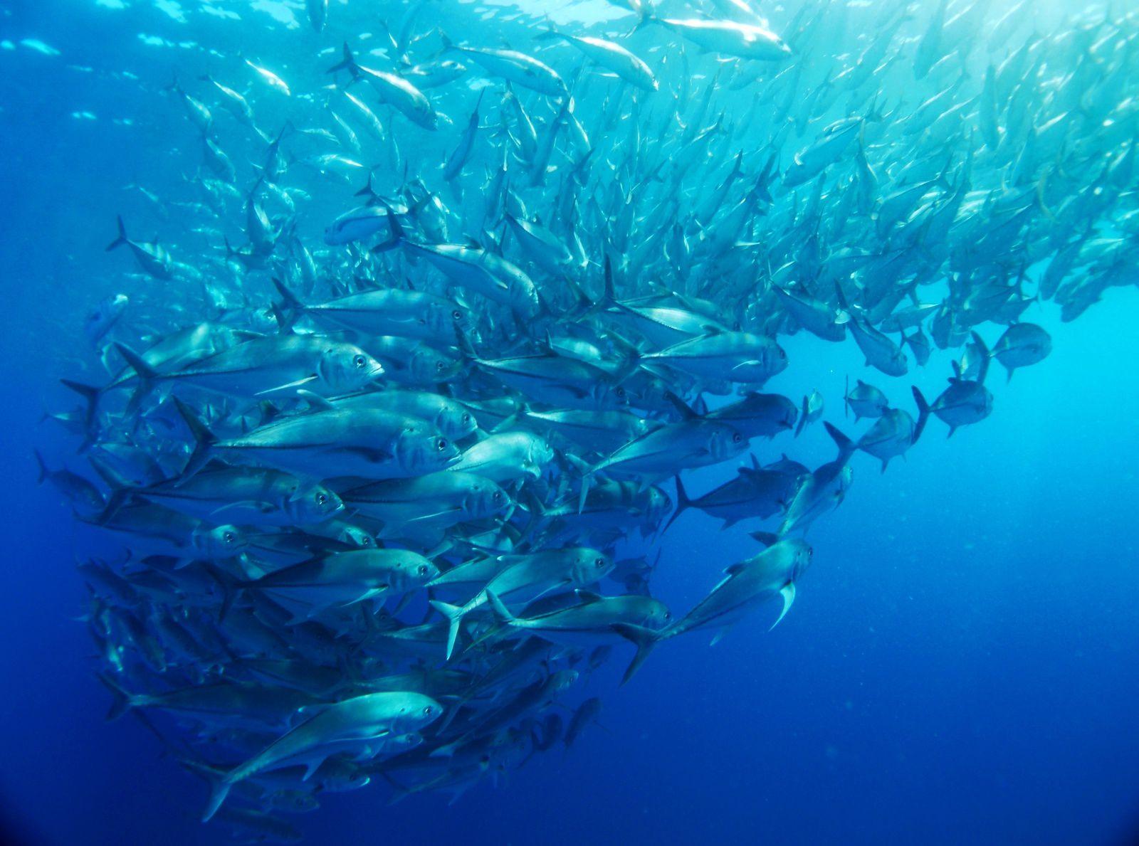 Cabo Pulmo bancs de poissons ( 1ème partie)