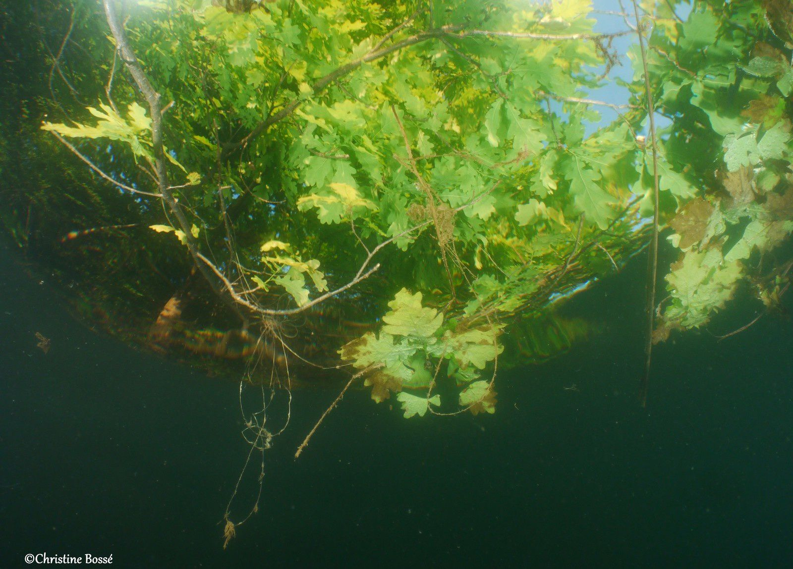 Mangrove alsacienne?