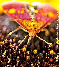 Pyrale de la menthe ou Pyrale dorée