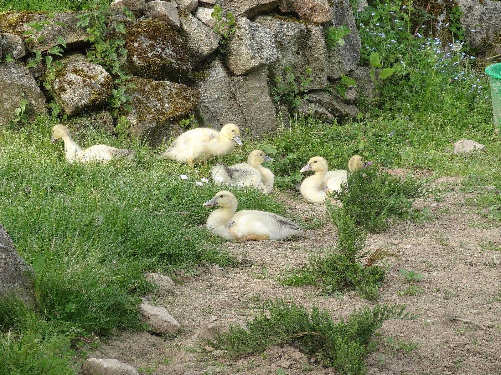 C'est la première fois que nous le voyons.. Un papa canard qui reste avec la canne est les petits.. Et qui fait même des papouilles à la mère ! DU JAMAIS VU aux Soleils :)
