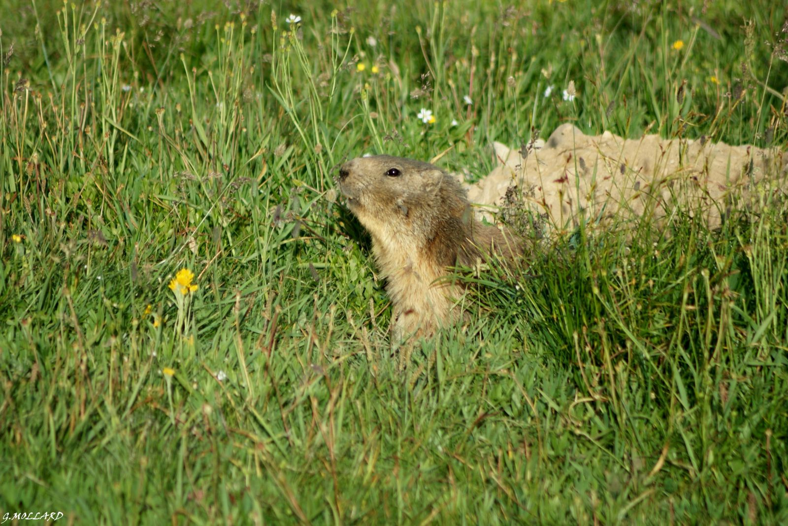marmotte qui sort de son terrier.