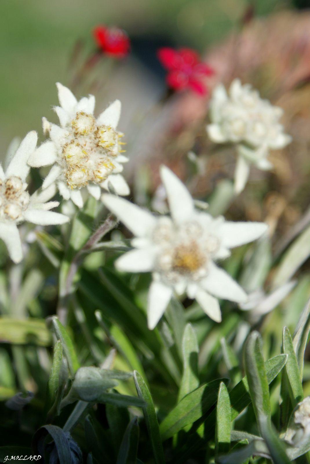 Edelweiss de culture,planté par ma soeur.
