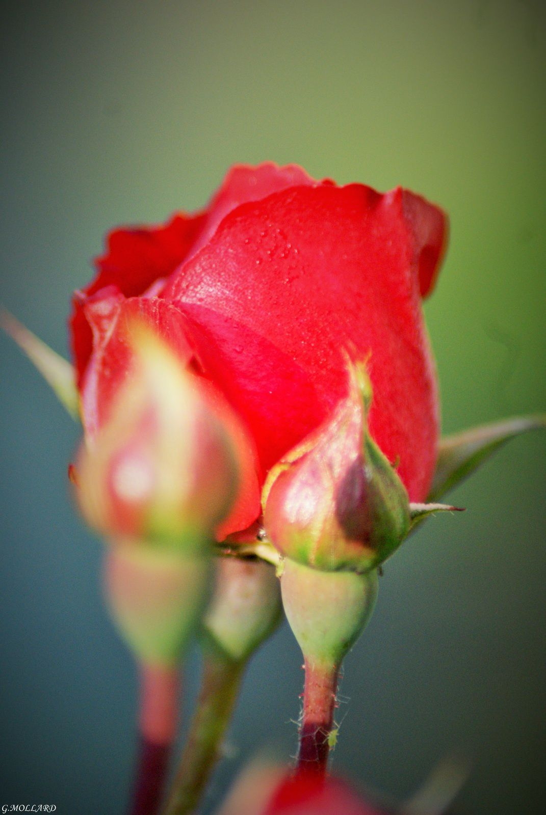 roses rouge.