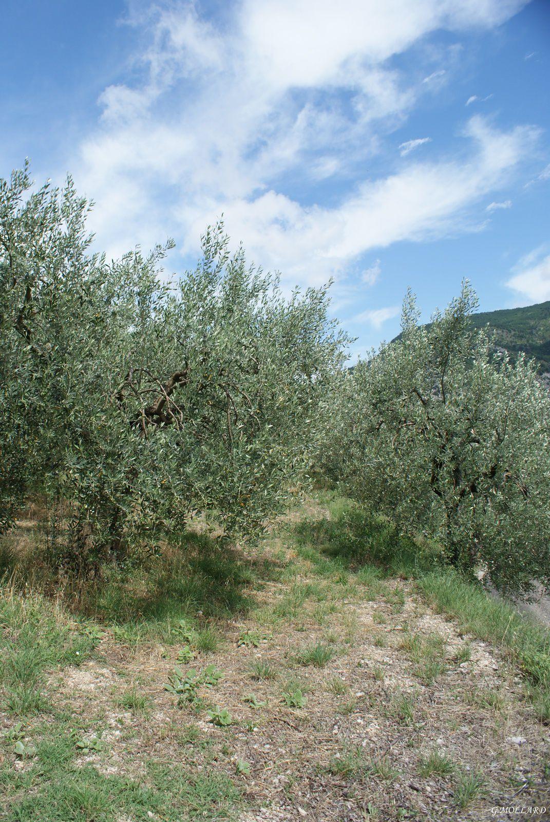 oliveraie.
