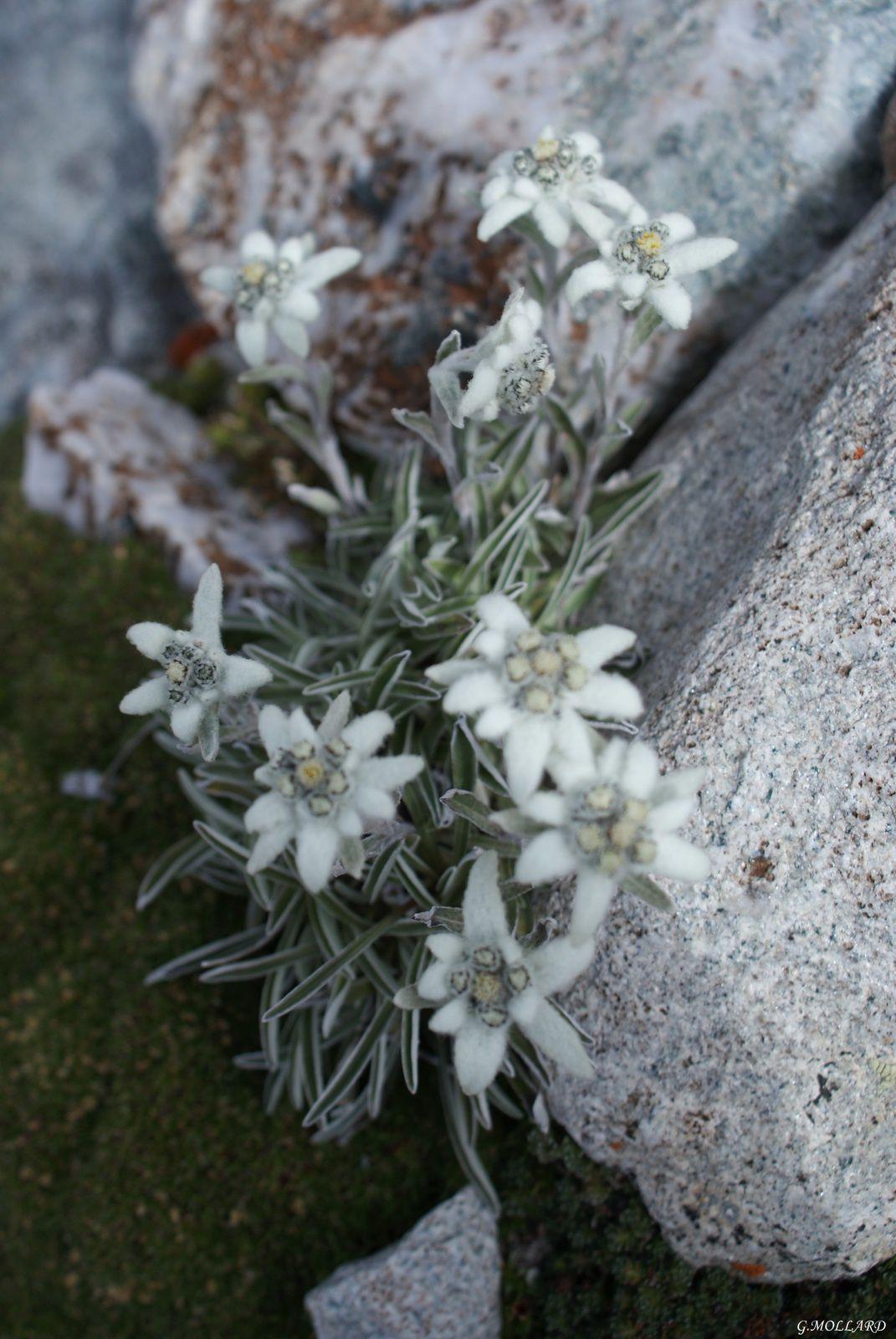 Edelweiss, l'étoile d'argent