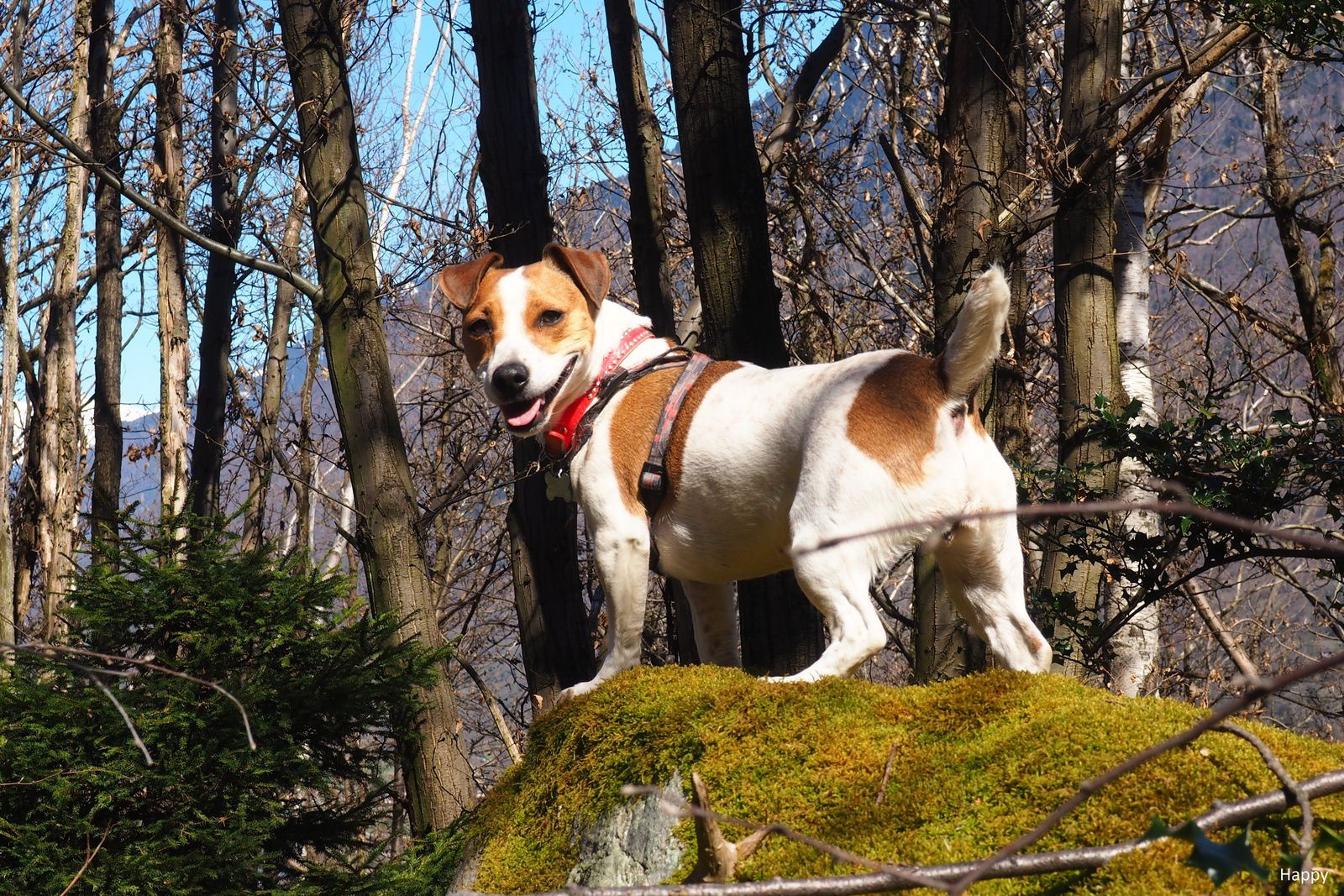 Happy ,jack Russell terrier