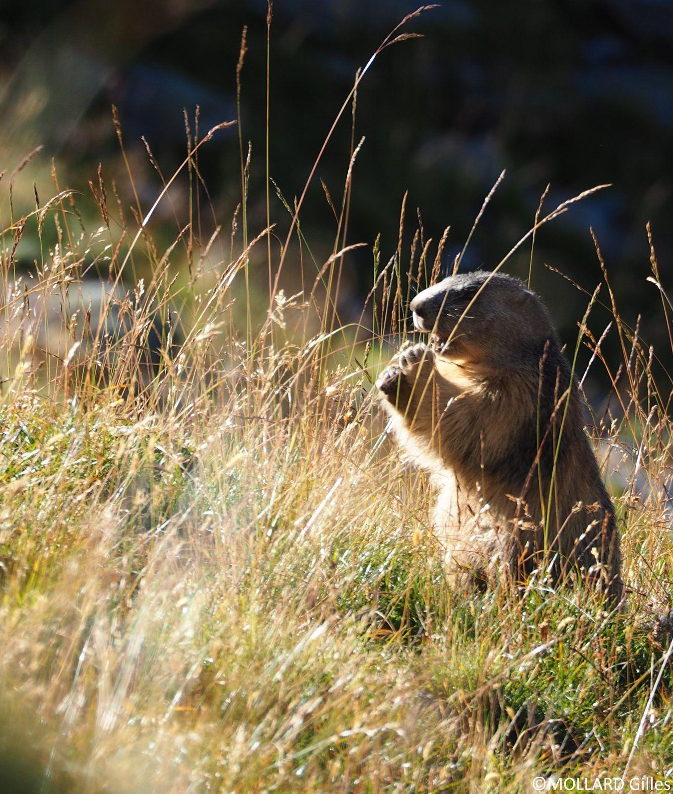 Le casse croûte de la marmotte.