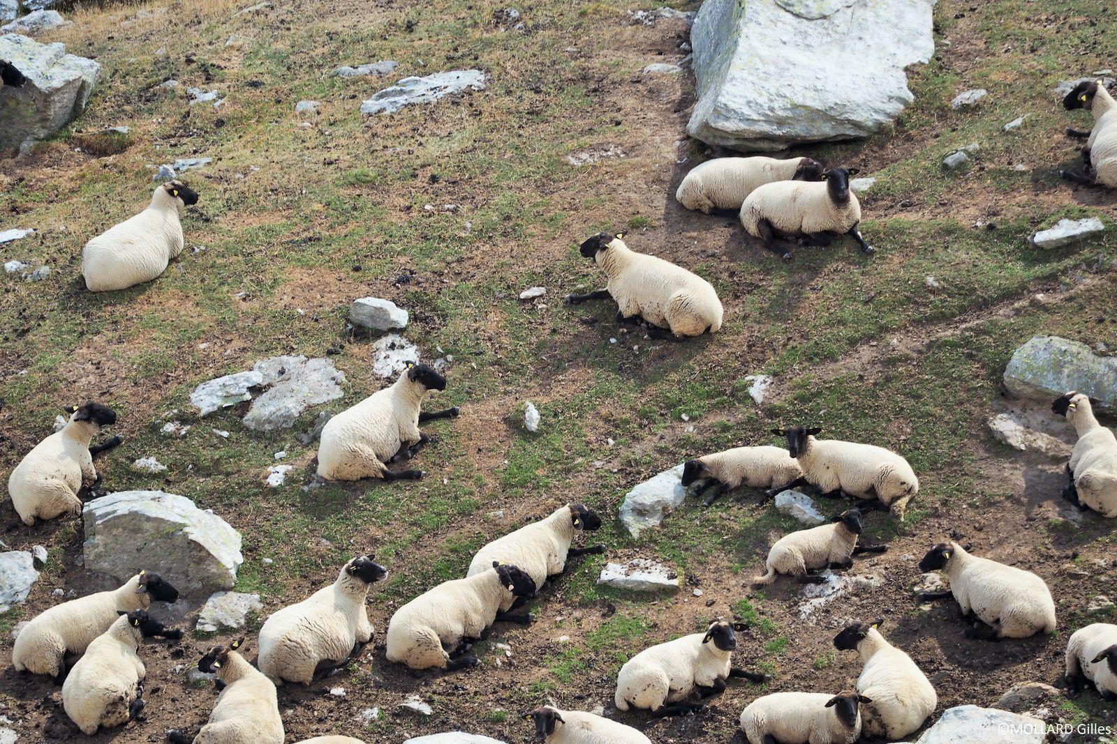Moutons, ou (réunion du conseil des ministres)