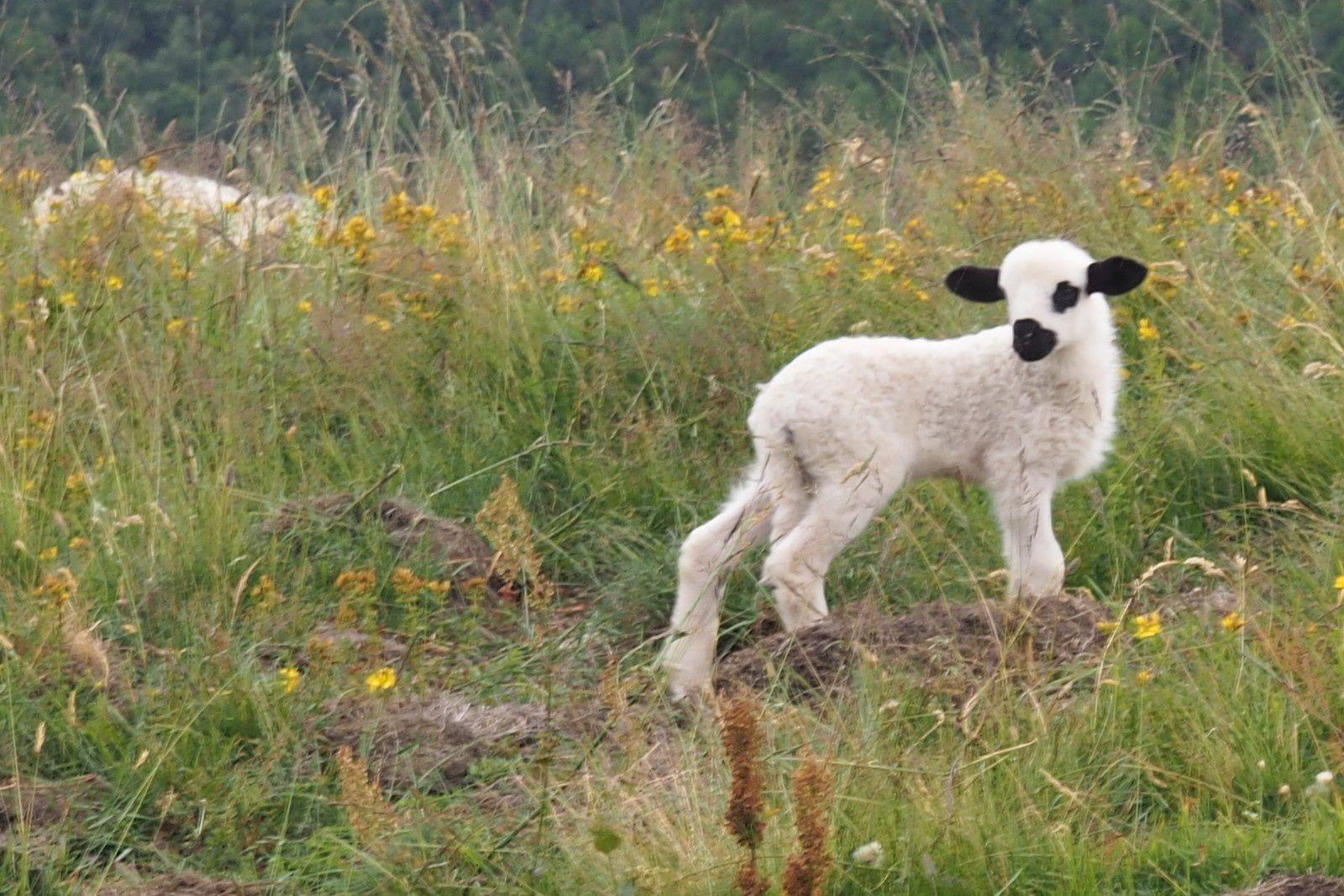 agneau tout juste né