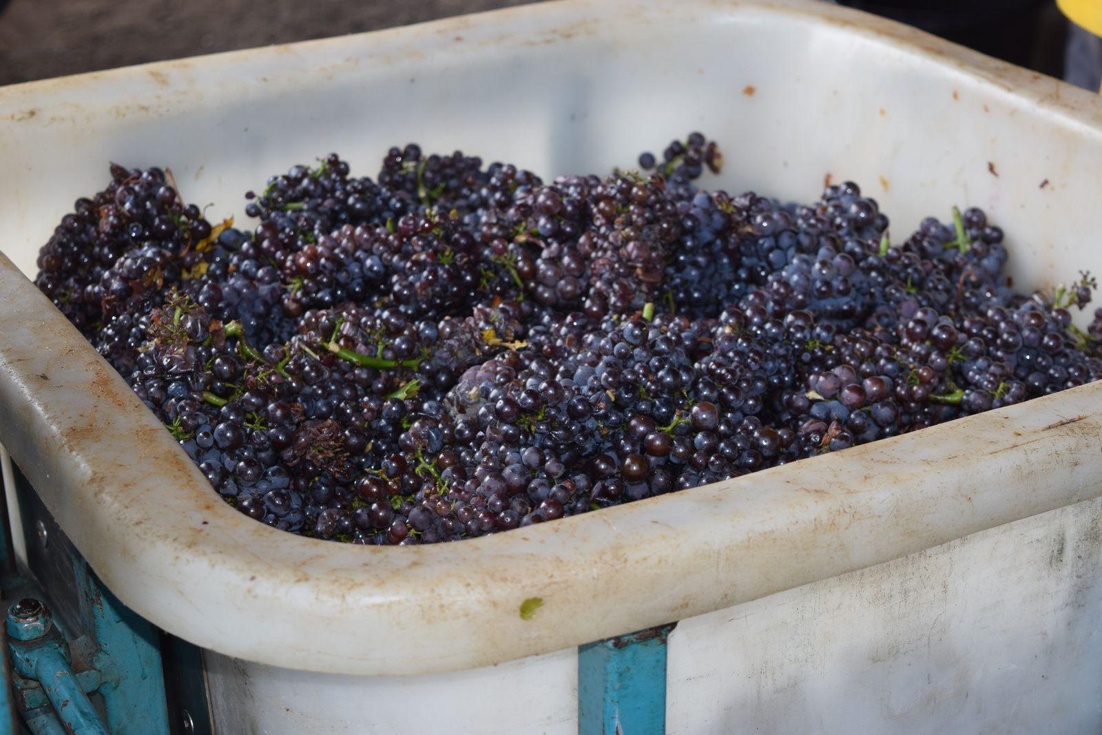 raisins, seaux de vendangeurs et cuve