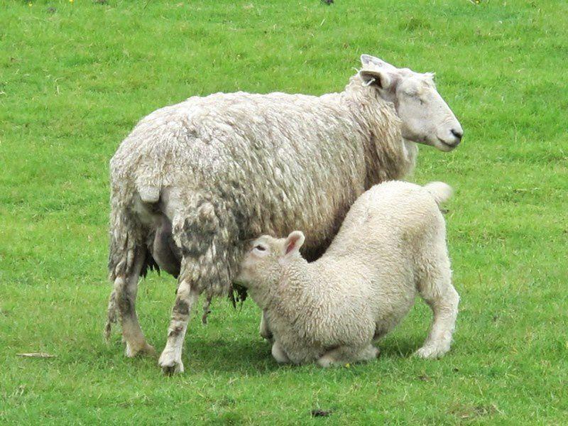 C'est vraiment vert et il y a des moutons partout.