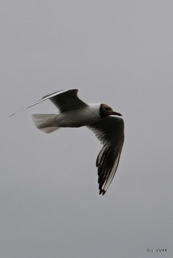 Les oiseaux de la dame du Lac