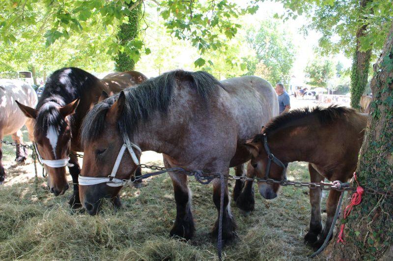 La foire de Chambérat ne serait rien sans eux. Ils font partie de la tradition. Les chevaux de trait restent très prisés du public.