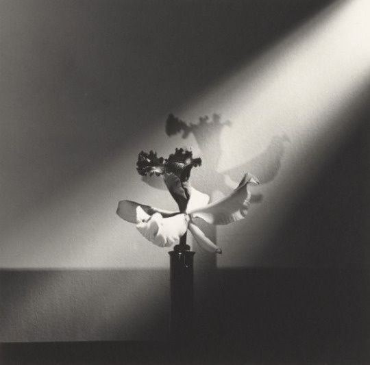 Robert Mapplethorpe, Orchid, N.Y.C.