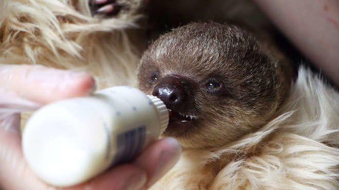 Edouard (« aux Mains d'Argent », référence à ses griffes impressionnantes) &#x3B; bébé paresseux du zoo de Londres (juillet 2015)