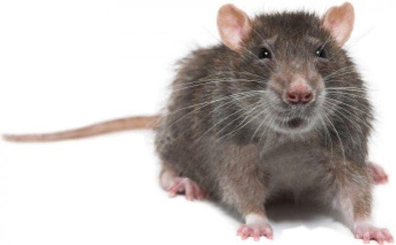 Entre la chatte et le rat