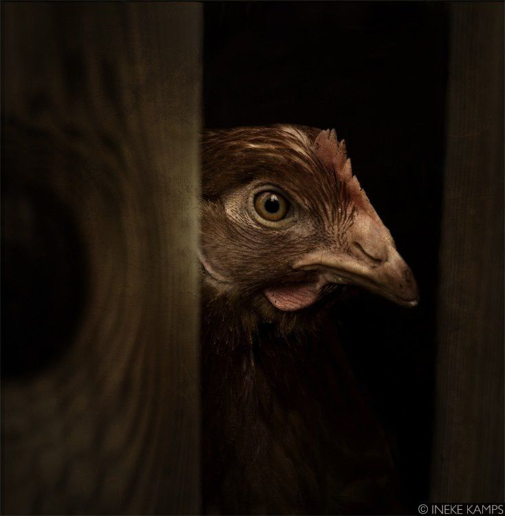 Rembrandt Chicken | Ineke Kamps | Painting and Photography