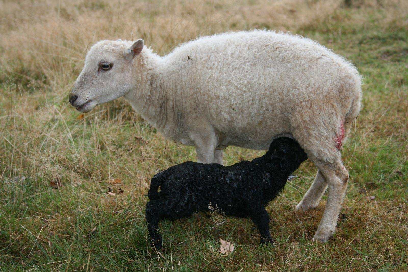 Puis les premières tétées bien réelles assurent ses futures heures d'existence et même grande partie de sa vie, la prise du colostrum, premier lait, étant de la plus haute importance pour construire un agneau puis un mouton solides.